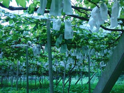 ぶどう栽培農園